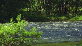 View green shrubs in water of flowing river in forest. Summer sunny day. Nobody. Nature. Landscape. View of green shrub in middle of flowing river in forest stock video footage