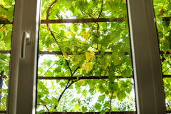 View of green vineyard through home window Royalty Free Stock Photography