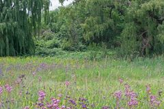 WILLOW TREES AND WILD FLOWERS. View of green weeping willow trees and grassland Royalty Free Stock Images