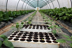 View of a greenhouse. Planted with peppers, beetroot and cabbage Stock Image