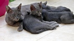 View of grey cats with their moter stock footage