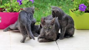 View of grey cats with their moter stock video