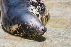Grey Seal, Halichoerus grypus, detail portrait. A view of a grey Seal, Halichoerus grypus, detail portrait Stock Photos
