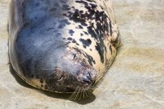 Grey Seal, Halichoerus grypus, detail portrait. A view of a grey Seal, Halichoerus grypus, detail portrait Stock Image