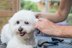 View of the groomer`s; hands combing the white Bolognese dog Royalty Free Stock Image