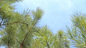 View from ground: fir tree branches background blue sky clouds stock video