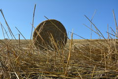 View from the ground on a straw bales with straws. And blue sky Royalty Free Stock Image