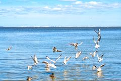 A view of group of black-headed gull royalty free stock images