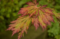 Autumn Color on Japanese Maple Leaves Stock Image