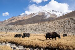A view of a group of yak is eating in the field with the snow mountain in Ladakh, India.  stock photos