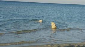 Dogs swimming in sea. View of happy dogs having fun in sea stock video