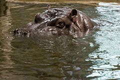 Head of a hippo floating in the water. View of the head of a hippo floating in the water royalty free stock photography