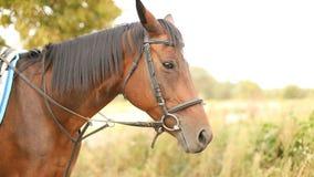 Beautiful brown Arabian horse standing in meadow and looking in camera.