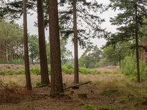 View of heathland from the forest Royalty Free Stock Photo