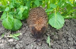 Hedgehog among potatoes royalty free stock photos