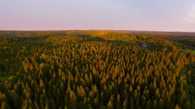 View from a height of forest in sunset time. The setting sun paints spruce forest in yellow-purple color in the distance is the hill. Karelia, Russia, 2016 stock footage