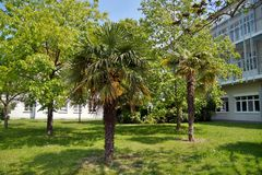 View of Hemp palm Chinese Windmill Palm Trachycarpus fortunei in a clinic Garden in mainz germany stock photos