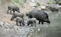 View on a herd of pigs on the water Royalty Free Stock Image
