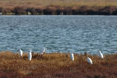 View of herons in Evros river, Greece. Stock Image