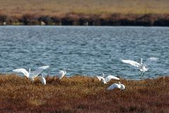 View of herons in Evros river, Greece. Stock Photo