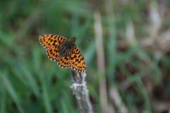 High Brown Fritillary Argynnis adippe orange butterfly. View of High Brown Fritillary Argynnis adippe delicate orange butterfly stock photos