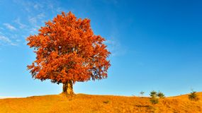 View of high,old,powerful beech in autumn highland. Landscape with big old beech at sunset stock photo