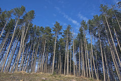 View of high trees from below. Blue sky Royalty Free Stock Photos