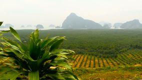 Plantations of oil palm tree rows are seen from above. Tropical landscape. View from the hill on the coast of the PhangNga Bay covered mangrove forest with high stock video