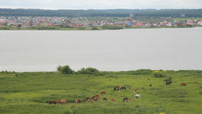 View from the hill to the village, the river and grazing horses. Russia, Siberia 2014: View from the hill to the village, the river and grazing horses. Herd of stock video footage