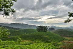 Indian tea garden Stock Images