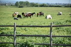 View of horses and cows grazing behind wooden fence Stock Photo