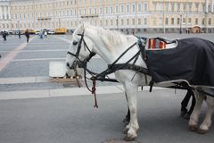 View of horses on the square in Petersburg royalty free stock photo