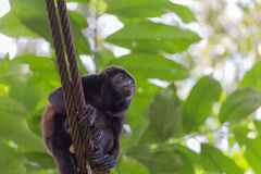 View of the Howler monkey on the hanging bridge in the jungle Stock Photography