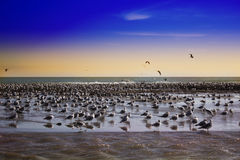 View of huge flock of seagulls on beach of Malibu, California. A huge flock of birds on the beach. Malibu pier at sunset, California. view of huge flock of Stock Photos