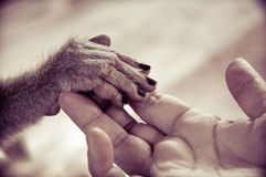 View of Human palm holding a small monkey hand. Close-up royalty free stock photos