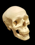 3/4 view of human skull. Replica of human skull Stock Photos