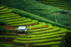An  hut in the green terraced rice field in Bong Piang forest, Mae Chaem, Chiang Mai, Thailand. View of an  hut in the green terraced rice field in Bong Piang Royalty Free Stock Images