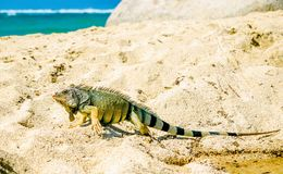 Iguana on beach in park national Tayrona - Colombia. View on Iguana on beach in park national Tayrona - Colombia Stock Photo