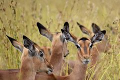 Impala Females. View of a Impala females in the African bush royalty free stock photos