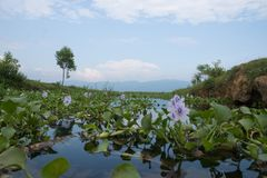 View on inle lake with purple flower seen from frog perspective in myanmar stock photo