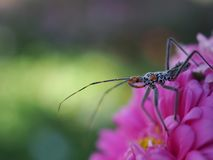 View of insects with long legs and mustaches, legs pinned on pink flowers. A close-up view of insects with long legs and mustaches, legs pinned on pink flowers royalty free stock photo