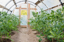 View inside greenhouse grown tomato plants Royalty Free Stock Photos