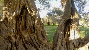 View from the inside onto the trunk of an ancient olive tree panorama close-up. Ancient Olive Trees, a collection of landscapes in an old olive garden in winter stock video