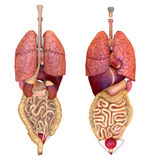 View of internal organs Stock Photography