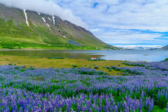 View of Isafjordur town. Landscape and view of Isafjordur town, in the west fjords region, Iceland Royalty Free Stock Image