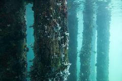 View of the jetty pylons covered in corals and marine life in the ocean aquarium. Busselton, Australia has the longest wooden jetty/pier in the Southern stock images
