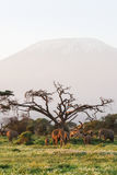 View of Kilimanjaro Mountain. Amboseli elephants. Africa Royalty Free Stock Photography
