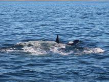 View of killer whale above water near Kamchatka Peninsula, Russia. The killer whale or orca Orcinus orca is a toothed whale belonging to the oceanic dolphin stock photography