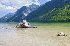 View of Konigsee. Bavaria. Germany. The snag in the lake on the background of mountains Stock Image
