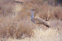 Kori Bustard. View of a Kori Bustard in Kalahari dunes Stock Image